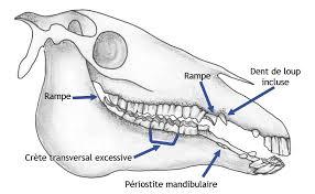 Schéma de dent de loup
